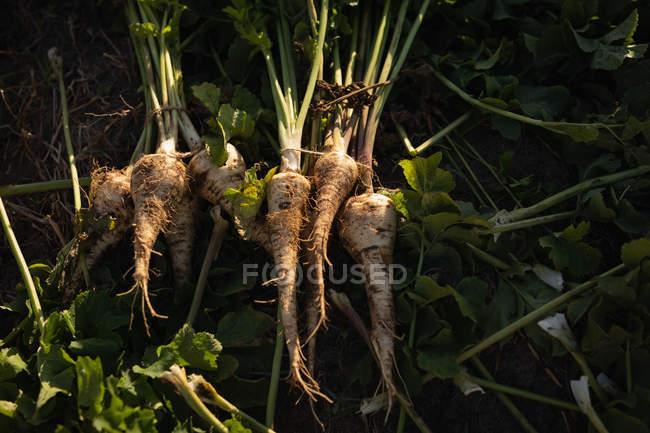 Primer plano del rábano cosechado en el campo - foto de stock