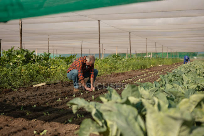 Side view of senior Caucasian male farmer planting the radish plant in the field on a sunny day — Stock Photo