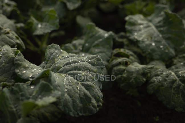 Крупним планом свіжих листя рослинного цвітної капусти заводу в області — стокове фото
