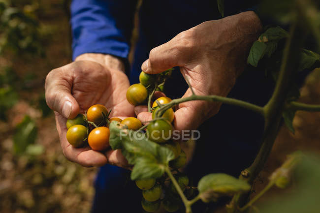 Close-up view of male farmer in coverall examining new cherry tomatoes in the field at farm — Stock Photo