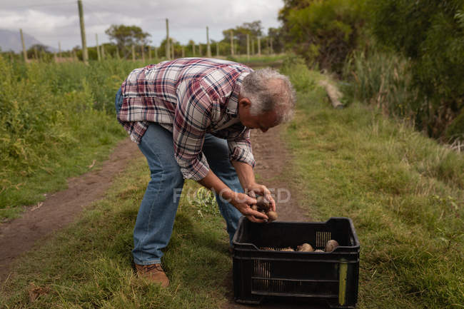 Side view of senior Caucasian male farmer putting harvested beetroot in basket in a field at farm — Stock Photo