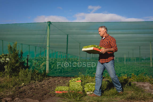 Side view of senior Caucasian male farmer collecting the harvest from the farm — Stock Photo