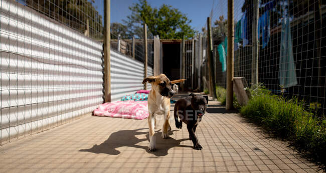 Front view of two rescued abandoned dogs in an animal shelter, walking together through a cage. — Stock Photo
