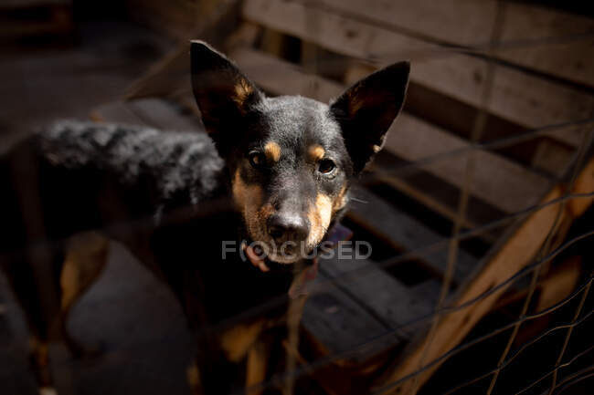 Front view close up of a rescued abandoned dog in an animal shelter, standing in a cage in the sun looking straight to camera. — Stock Photo