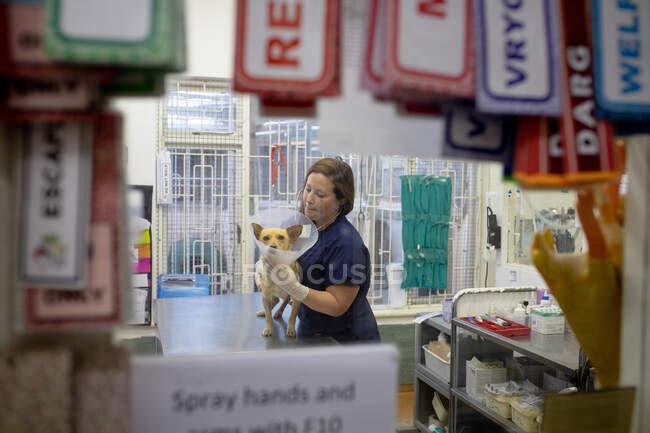 У ветеринарній хірургії на собаці дивляться на ветеринарний ветеринар, який носить ветеринарний комір.. — стокове фото