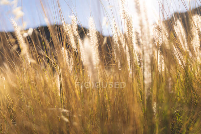 Close up of tall grass in sunlight in mountain countryside. beauty in nature during summer time, tranquility in relaxing scenic location. — Stock Photo