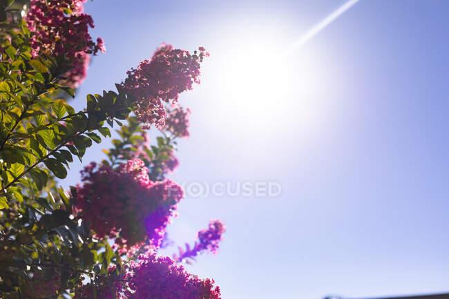 Primer plano de flores rosadas florecientes en el cielo azul en el día soleado. belleza en la naturaleza, jardín de verano. - foto de stock