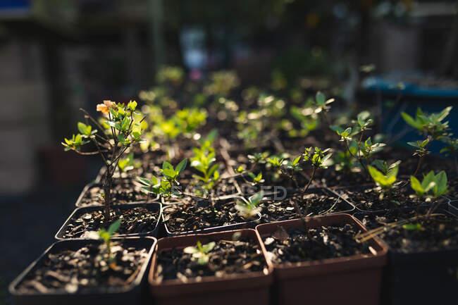 Varias plantas y plántulas en macetas en el centro del jardín. vivero de plantas bonsai, negocio de horticultura independiente. - foto de stock