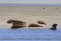 Francia, Costa del Nord, Authie Bay, gruppo di foche su un banco di sabbia — Foto stock