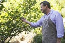 Uomo sorridente che guarda i frutti sull'albero in giardino — Foto stock