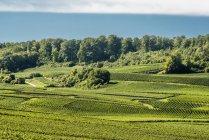Scenic view of vineyard in Chamery, Montagne de Reims — Stock Photo