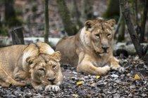 Deux Lions africains féminins se trouvant sur le sol dans le bois — Photo de stock
