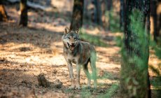 Wolf standing in forest on blurred background — Stock Photo