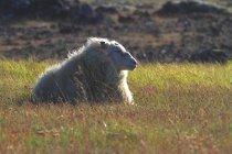 Islândia, Sudurland. Ovelhas sobre grama verde — Fotografia de Stock
