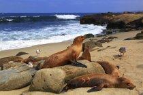 USA, California, La Jolla Cove, foche appoggiate su rocce sulla spiaggia sabbiosa — Foto stock