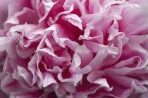 Primer plano de pétalos de flores de peonía rosa - foto de stock