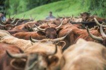 Vacas en el prado, Francia, Auvernia, enfoque selectivo - foto de stock