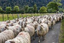 Стадо овец, Франция, Национальный парк Пиренеи — стоковое фото