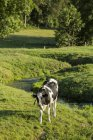 Корова в Meadow, Norfely, Франция — стоковое фото