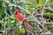 Pinzón rojo en la rama, enfoque selectivo - foto de stock