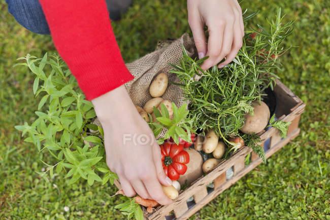 Nahaufnahme weiblicher Hände, die Gemüse in eine Kiste im Freien legen — Stockfoto