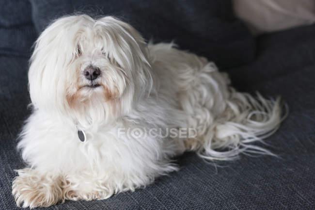 Close-up de cão branco em casa — Fotografia de Stock