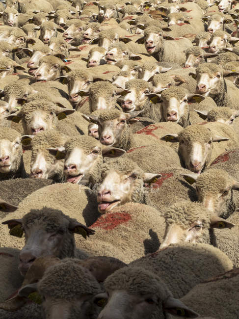 Schafe in Transhumanz, Frankreich, selektiver Fokus — Stockfoto
