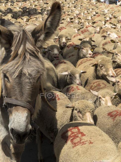 Осёл и овцы на юго-востоке Франции, Сен-Реми-де-Прованс — стоковое фото