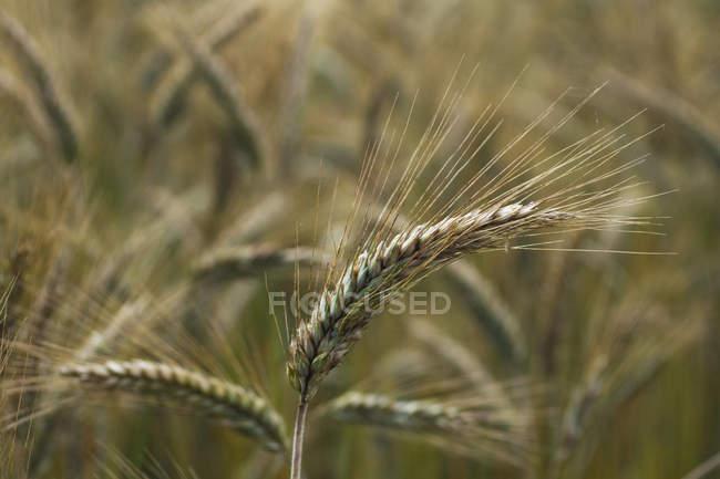 Campo di grano, attenzione selettiva — Foto stock