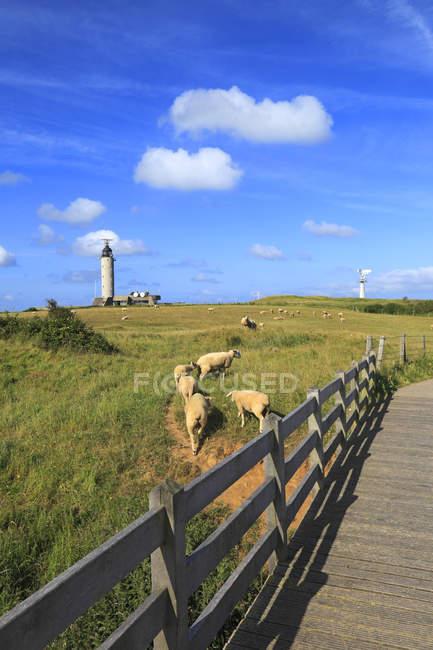 Живописный вид овцы на поле, Франция, северное побережье — стоковое фото