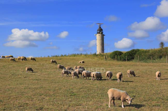 Франция, Северное побережье, выпас овец на поле в дневное время — стоковое фото