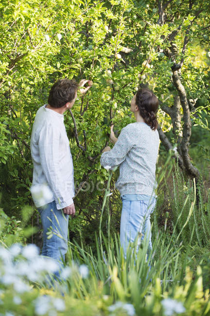 Mature couple picking fruits in sunny garden — Stock Photo