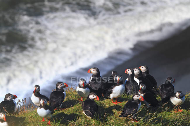 Atlantic puffins on grass, selective focus — Stock Photo