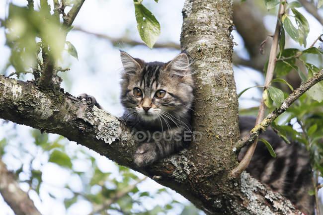 Chat des forêts norvégiennes assis sur une branche d'arbre — Photo de stock