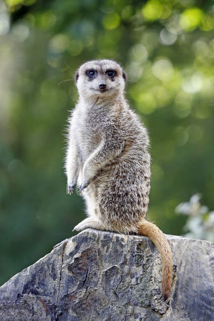 Africa, Namibia, Close-up of suricate standing on rock — Stock Photo