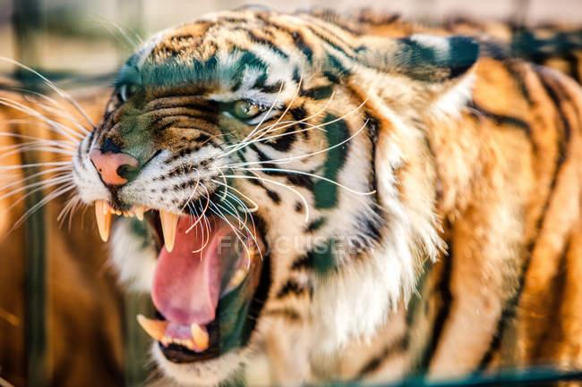 Plan rapproché du tigre rugissant sur le fond brouillé — Photo de stock