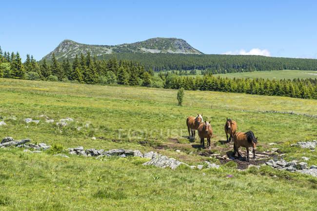 Лошади пасутся на поле с зеленой травой, Франция, Оверни, гора Мзенц — стоковое фото