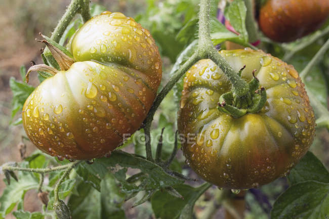 Drops of water on unripe tomatoes growing on plant — Stock Photo