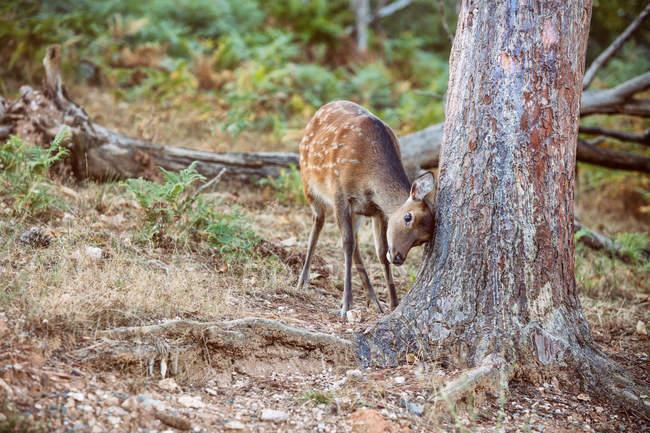 Fawn arañando la cabeza contra el árbol en la naturaleza - foto de stock