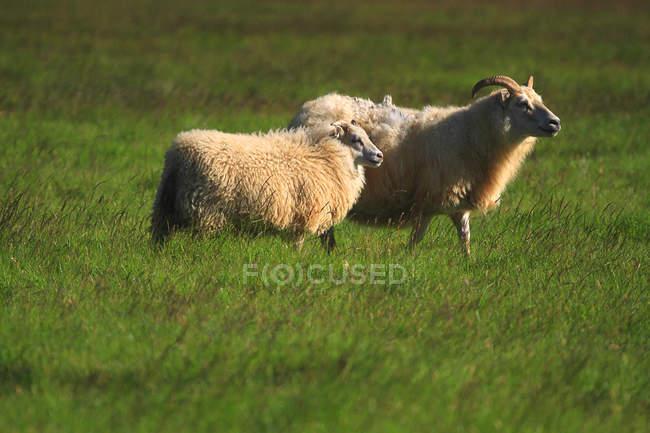 Овцы на зеленой траве, Исландия, Судурленд — стоковое фото