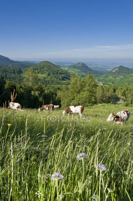 France, Auvergne-Rhones-Alpes, Haute-Loire, cows grazing on green meadow in mountains — Stock Photo