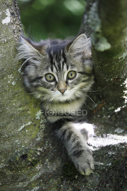 Norwegian forest cat sitting on branch of tree — Stock Photo