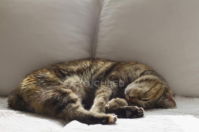 Mignon chaton norvégien tabby dormant sur le canapé à la maison — Photo de stock