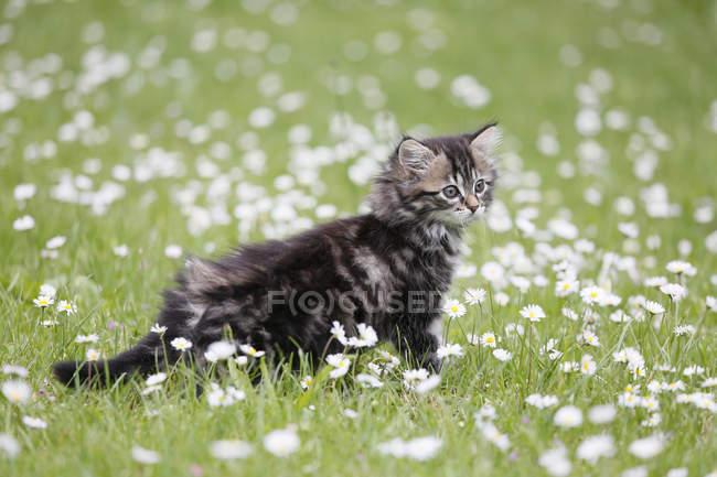 Mignon chaton norvégien tabby à pied dans une prairie fleurie — Photo de stock