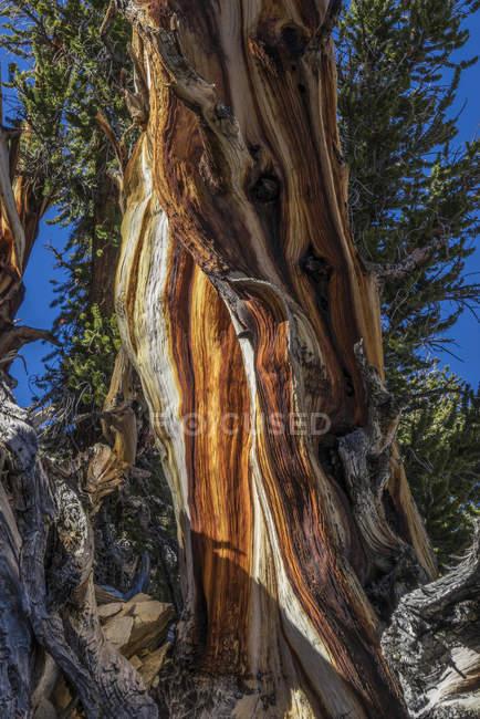 Vieux tronc de pin, forêt ancienne de pin de Bristlecone, forêt nationale d'Inyo, Californie, USA — Photo de stock