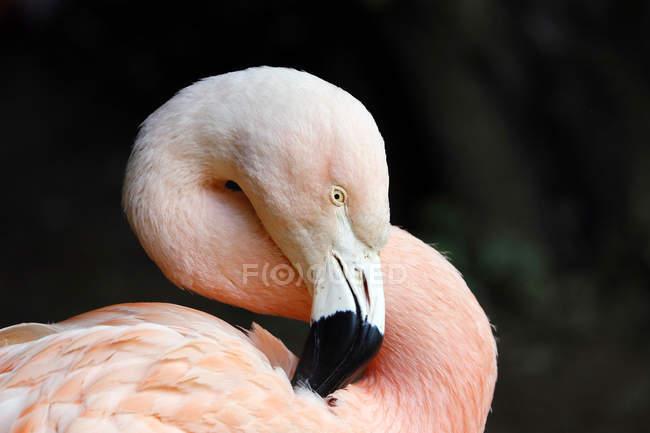 Bolivia, Altiplano, Laguna colorada, Close-up on a pink flamingo of Chile on black background — Foto stock