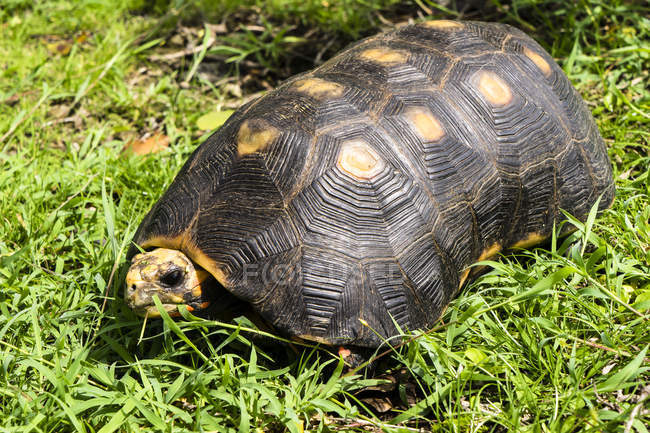 Close-up of turtle on green grass in nature — Stock Photo