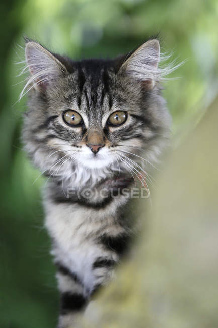 Norwegian forest cat perched in tree and looking at camera — Stock Photo