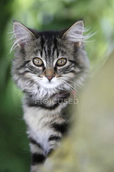 Chat des forêts norvégiennes perché dans l'arbre et en regardant la caméra — Photo de stock