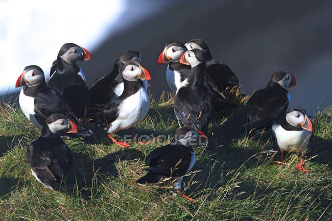 Macareux atlantiques sur l'herbe, foyer sélectif — Photo de stock